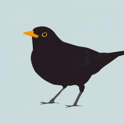 """""""Brian"""" - Blackbird (Print)"""